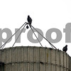 Rob Winner – rwinner@shawmedia.com<br /> <br /> Four turkey vultures are seen resting on a silo near Somonauk Road in DeKalb, Ill., on Tuesday, June 25, 2013.