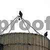 Rob Winner – rwinner@shawmedia.com<br /> <br /> Four turkey vultures are seen resting on a silo near Somonauk Road in DeKalb, Ill., on Tuesday, June 25, 2013.