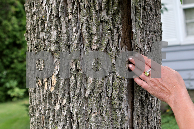 Rob Winner – rwinner@shawmedia.com<br /> <br /> Sycamore resident Tammy Diehl shows bark which is beginning to peel away from an ash tree in her yard that has been damaged by the emerald ash borer on Tuesday, July 23, 2013.