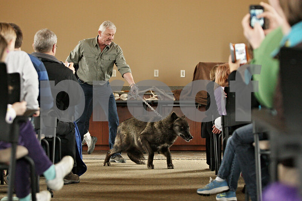 Rob Winner – rwinner@shawmedia.com<br /> <br /> John Basile, of Big Run Wolf Ranch, controls Canuck, a British Columbian female wolf, during a Midwest Museum of Natural History event at the DeKalb County Community Foundation in Sycamore, Ill., Saturday, March 16, 2013.