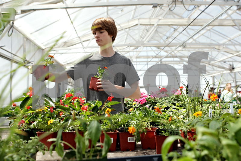 Rob Winner – rwinner@shawmedia.com<br /> <br /> After being replanted into a larger container, Danny Lamanski, a junior at DeKalb High School, moves two marigolds to a flow table inside the greenhouse on Wednesday, May 1, 2013. The class will be selling plants on May 8 and 9.<br /> <br /> DeKalb, Ill.
