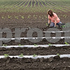 Rob Winner – rwinner@shawmedia.com<br /> <br /> Barb Pondelick, of Sycamore, plants zucchini into a field at her parents' farm in Maple Park, Ill., Tuesday, May 21, 2013. The family owned Theis Farm II sells their produce at a farmers market in Aurora.