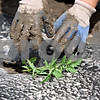 Rob Winner – rwinner@shawmedia.com<br /> <br /> A tomato plant is put into the soil by Barb Pondelick, of Sycamore, at her parents' farm in Maple Park, Ill., Tuesday, May 21, 2013. The family owned Theis Farm II sells their produce at a farmers market in Aurora.