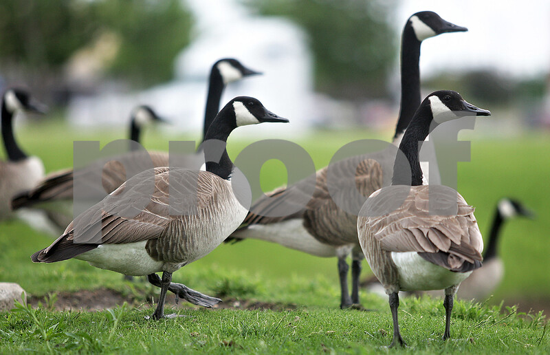 Monica Maschak - mmaschak@shawmedia.com<br /> A gaggle of geese hangout at the multiple retention ponds in the Walmart shopping center parking lot in DeKalb. Being that the retention ponds are so close to the roadways, the geese often haphazardly stand in the way of moving cars.
