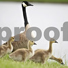 Monica Maschak - mmaschak@shawmedia.com<br /> Baby geese stay close to their parent goose at one of the retention ponds in the Walmart shopping center parking lot in DeKalb. Being that the retention ponds are so close to the roadways, the geese often haphazardly stand in the way of moving cars.