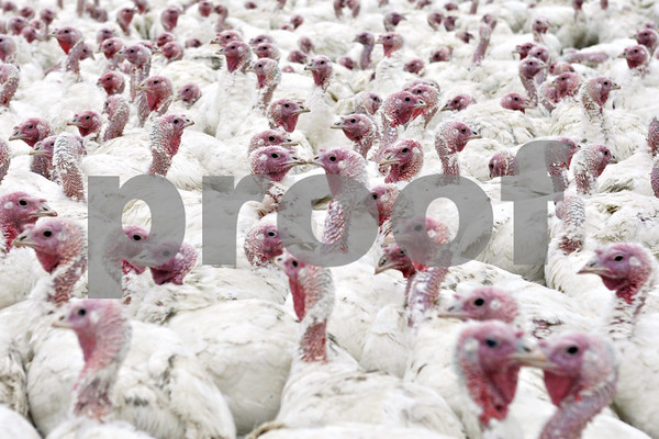 Rob Winner – rwinner@shawmedia.com<br /> Hundreds of Nicholas turkeys are seen gathered in a pen before being dressed at Ho-Ka Turkey Farm in Waterman, Ill., Tuesday, Nov. 5, 2013.