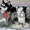 Monica Maschak - mmaschak@shawmedia.com<br /> Two-year-old Siberian Husky Mission (left) will step in for Diesel (right) following his retirement.