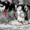 Monica Maschak - mmaschak@shawmedia.com<br /> Diesel (right) will retire this year after nine years as Northern Illinois' mascot. Stepping in will be a two-year-old Siberian Husky named Mission (left).