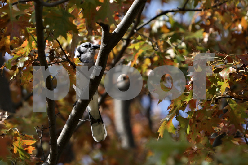 Rob Winner – rwinner@shawmedia.com<br /> <br /> A blue jay is seen among the changing colors of a maple tree's leaves at the Afton Forest Preserve in DeKalb, Ill., Monday, Oct. 28, 2013.