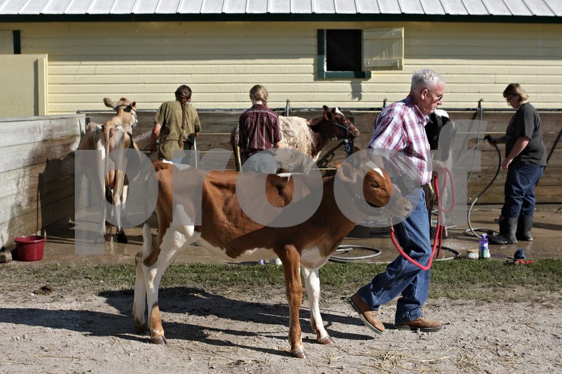Rob Winner – rwinner@shawmedia.com<br /> <br /> Larry Mohr of Normal leads Emma, a junior Guernsey calf, to be cleaned outside the Dairy Barn at the Sandwich Fair on Wednesday, Sept. 4, 2013.