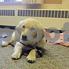 Chris Burrows – cburrows@shawmedia.com<br /> <br /> Jewel, a 12-week-old Golden Retriever and comfort dog in training, relaxes in trainer Charmaine Cornwell's office at Heartland Bank in Genoa. Cornwell is training the dog for Lutheran Church Charities through her church, Immanuel Lutheran, in Belvidere.