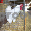 Rob Winner – rwinner@shawmedia.com<br /> <br /> A White Plymouth Cock is seen in a cage inside the poultry barn on Monday morning at the Sandwich Fairgrounds. The 126th annual fair begins this Wednesday and will continue to Sunday.<br /> <br /> Monday, Sept. 2, 2013