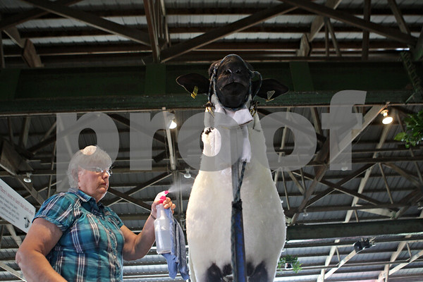 Rob Winner – rwinner@shawmedia.com<br /> <br /> Myrna Sanburg of Knoxville prepares Freight Train, a one-year-old purebred Suffolk ram, inside the sheep barn on Monday morning at the Sandwich Fairgrounds. The fair opens this Wednesday and runs through Sunday.<br /> <br /> Monday, Sept. 2, 2013