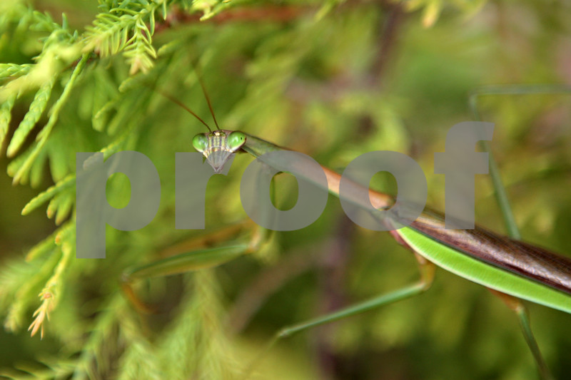 Rob Winner – rwinner@daily-chronicle.com<br /> <br /> A mantis insect is seen resting on a small shrub in DeKalb on Wednesday, Sept. 11, 2013.