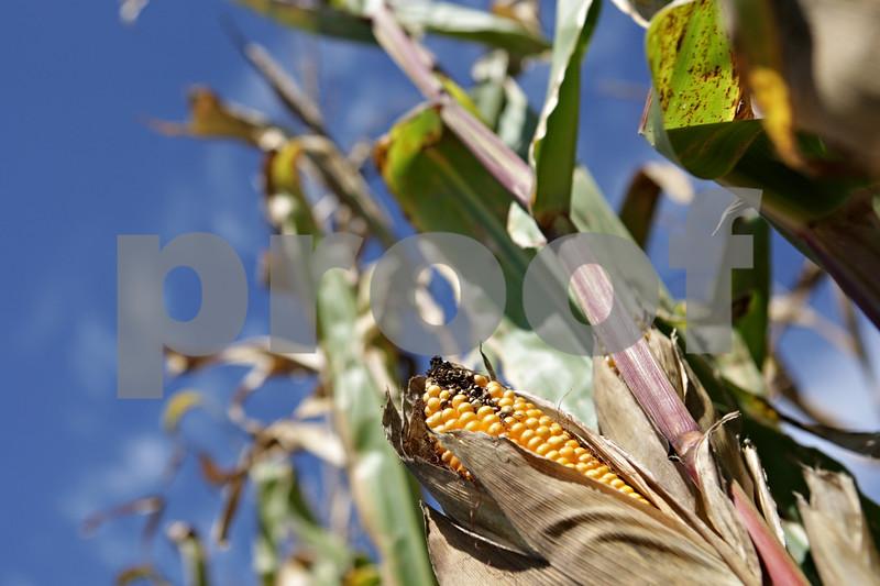 Rob Winner – rwinner@shawmedia.com<br /> <br /> According to Bob Johnson of Johnson Farms in DeKalb, the corn harvest should begin in about two weeks.<br /> <br /> DeKalb, Ill.<br /> Tuesday, Sept. 24, 2013