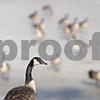 Rob Winner – rwinner@shawmedia.com<br /> <br /> A goose is seen near an ice-covered retention pond near Barber Greene and County Farm Roads in DeKalb, Ill., Monday, Jan. 13, 2014.