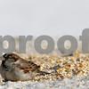 Rob Winner – rwinner@shawmedia.comA sparrow eats bird food by the retention pond near the intersection of Barber Greene and County Farm roads in DeKalb, Ill., {iptcdow}, {imap} {iday}, {iyr4}.