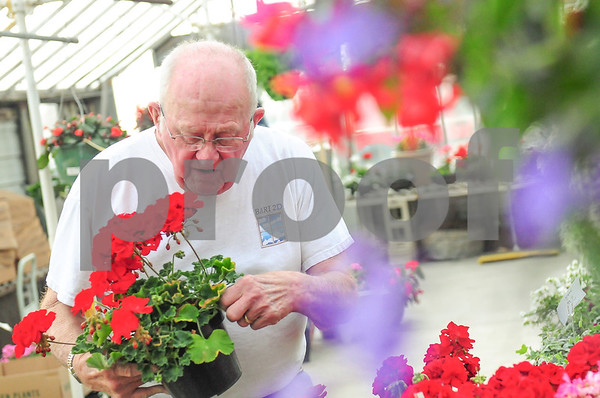 Danielle Guerra - dguerra@shawmedia.com<br /> Owner Jim Kaelin, 78, picks up a potted geranium in the greenhouse at DeKalb Florist and Greenhouse on the corner of Peace and Lincoln Highway in DeKalb.  Kaelin bought the business in 1965, four days before graduating Northern Illinois University.  His daughter, Sally Kaelin-Mullis now manages the 110-year-old business but Kaelin still comes to work everyday.