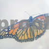 dnews_0912_Monarch1