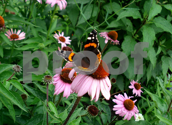 Butterfly on Coneflower in May's Garden2.JPG