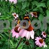 Butterfly on Coneflower in May's Garden2.JPG