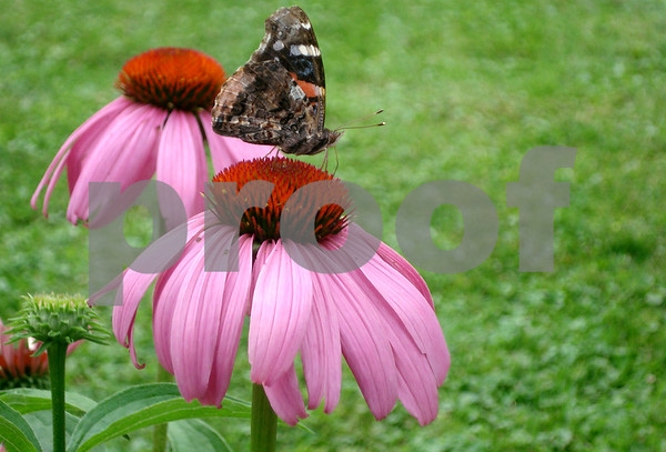 Butterfly on Coneflower in May's Garden1.JPG