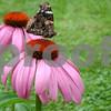 Butterfly on Coneflower in May's Garden1.JPG