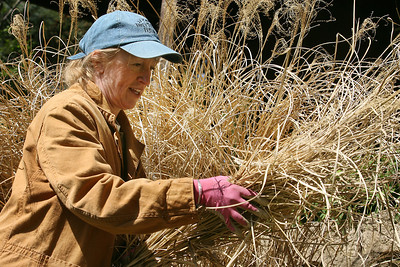 Mike Greene - mgreene@shawmedia.com Brenda Dahlfors (cq) grabs a handful of ornamental grass while maintaining one of her gardens Thursday, April 5, 2012 at her home in Woodstock. Dahlfors, program coordinator for the Master Gardener program in McHenry County, said she was unable to cut the grass last year after a duck used the area to lay eggs.