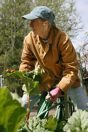 Mike Greene - mgreene@shawmedia.com Brenda Dahlfors cuts rhubarb in one of her gardens Thursday, April 5, 2012 at her home in Woodstock. Dahlfors, program coordinator for the Master Gardener program in McHenry County, is concerned that local fruit could be harmed by frost hitting the area.