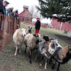 Linda Franklin gives sheep herding demostrations Saturday during Heritage Day at Peck Farm Park.<br /> (Jeff Krage for Shaw Media)