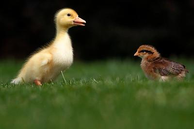 hnews_tue0505_Kids_Ducks_02
