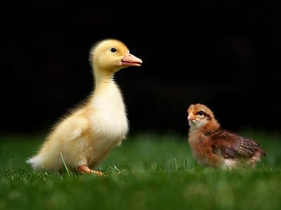 hnews_tue0505_Kids_Ducks_