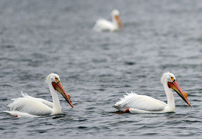hnews_0413_Griswold_Pelicans_14