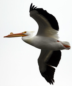 hnews_0413_Griswold_Pelicans_10