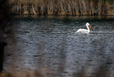 hnews_0413_Griswold_Pelicans_03