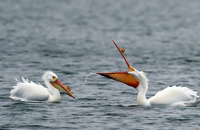 hnews_0413_Griswold_Pelicans_01