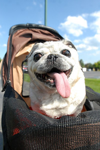 Mighty Mouse, a 12-year-old female Pug, smiles from her perch inside a dog stroller at Ty Warner Park in Westmont on Friday, Aug. 16, 2013. Mighty Mouse, who was diagnosed with diabetes 2-years ago, lost her sight as a result of the disease. Matthew Piechalak –mpiechalak@shawmedia.com