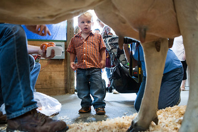 Jayden Rutledge, 2, of Leroy, Ill., tries to gain the courage to milk a cow inside the Illini Dairy Club Milk-A-Cow exhibit at the Illinois State Fair. (AP Photo/Justin L. Fowler/The State Journal-Register)