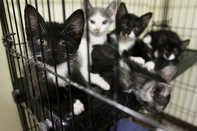 Mike Greene - mgreene@shawmedia.com A group of kittens look out their cage at Lucky-E Kennel Thurday, August 30, 2012 in Ringwood. The kittens are some of the 103 animals recently received in a shipment from Louisiana that were displaced by Hurricane Isaac. The kennel is currently looking for help boarding some of the 45 cats it received in the shipment.