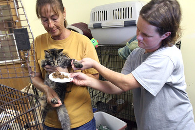 Mike Greene - mgreene@shawmedia.com Bobbie Medius (right), of Ringwood, tempts a kitten being held by Terry Ward, of Lakemoor, in order to keep it from struggling while being moved at Lucky-E Kennel Thurday, August 30, 2012 in Ringwood. The kennel recently took in 103 animals displaced by Hurricane Isaac in a shipment from Louisiana.