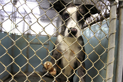 Mike Greene - mgreene@shawmedia.com A dog places his paw on his cage while looking out at Lucky-E Kennel Thurday, August 30, 2012 in Ringwood. The kennel recently received 103 animals in a shipment from Louisiana that were displaced by Hurricane Isaac. The kennel is currently looking for help boarding some of the 58 dogs it received in the shipment.
