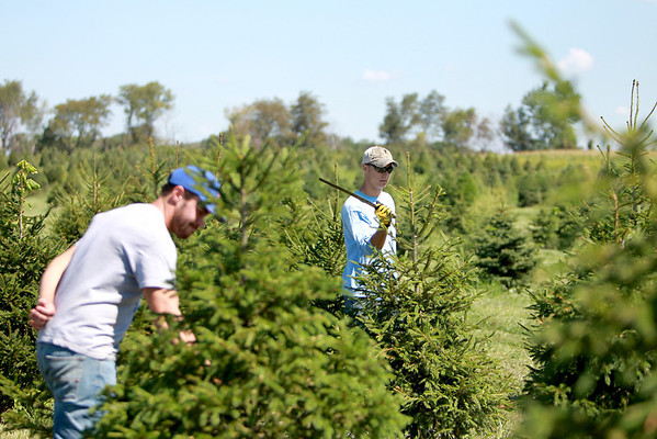 Sandy Bressner - sbressner@shawmedia.com<br /> Ryan Hoffman of Sugar Grove (left) and Jared Meyer of Batavia use machetes to trim the Christmas tree crop at Marmion Abbey Farms in Aurora Tuesday morning.