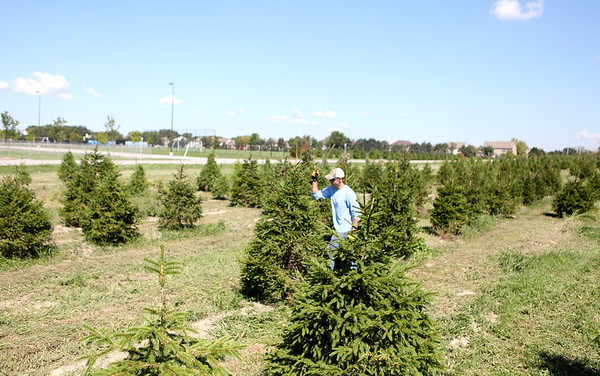 Sandy Bressner - sbressner@shawmedia.com<br /> Jared Meyer of Batavia uses a machete to trim the Christmas tree crop at Marmion Abbey Farms in Aurora Tuesday morning.