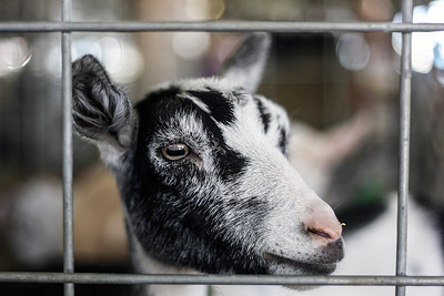 Sarah Nader - snader@shawmedia.com A goat looks out his pin during the McHenry County Fair in Woodstock Saturday, August 3, 2013.