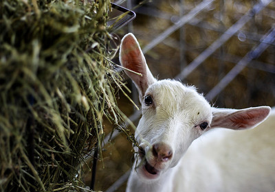 Sarah Nader - snader@shawmedia.com A goat eats some hay in his pin during the McHenry County Fair in Woodstock Saturday, August 3, 2013.