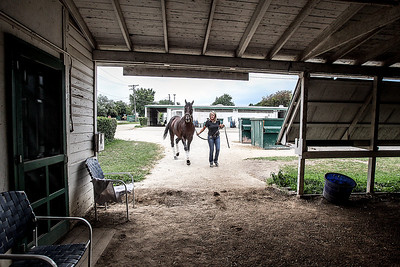 Sarah Nader -  snader@shawmedia.com Horse trainer Anne Smith of Crystal Lake brings Nate's Mineshaft inside stables at the Arlington Park Racecourse in Arlington Heights Monday, August 12, 2013. Nate's Mineshaft will be running in this weekends Arlington Million.