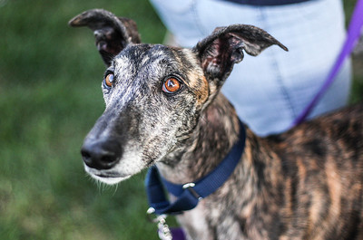 Sarah Nader -  snader@shawmedia.com Three-year-old Spanish Galgo, Amador, arrived from Spain last month and is now up for adoption at the Love, Hope, Believe Galgo Rescue based in Crystal Lake.
