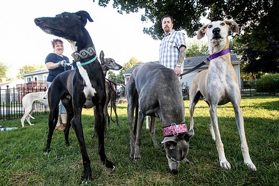 Sarah Nader -  snader@shawmedia.com Amanda Patenaude (left) and her husband, Travis Patenaude, walk their seven Greyhounds, which include four Galgos at their Crystal Lake home Monday, August 9, 2013. The Patenaude's started a Galgo rescue and currently have four Galgo's up for adoption.