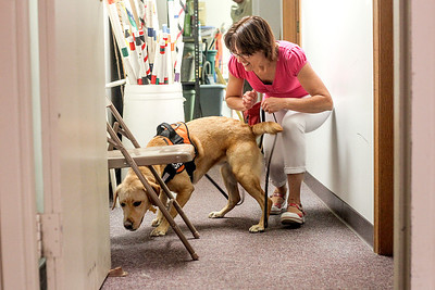Sarah Nader -  snader@shawmedia.com Adrienne Ostrowski of Crystal Lake watches as her four-year-old Labrador retriever, Saffron, sniffs out a scent during a Nose Work class at Northwest Obedience Club in Cary Tuesday, August  26, 2013.