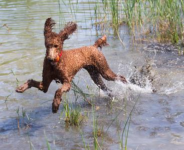 hCOM_adv_Water_Dog.jpg